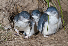(Wikipedia) Little Blue Penguins exiting a burrow